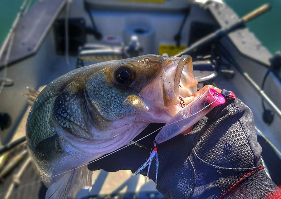 Fishus : Seabass fishing on kayak with Ubuntu Popper