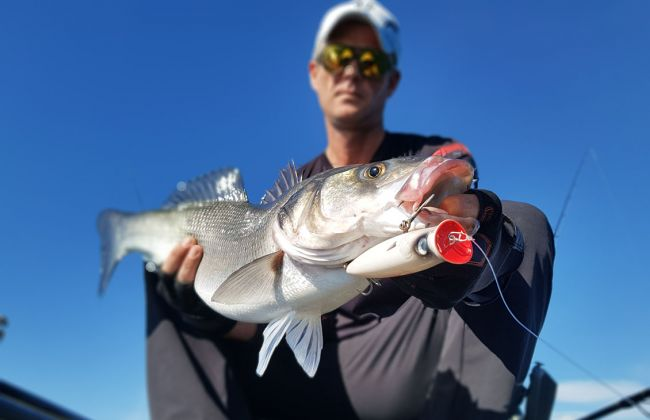A beautiful seabass that frantically attacked the Ubuntu Popper that Miro Jovica  was casting from his kayak